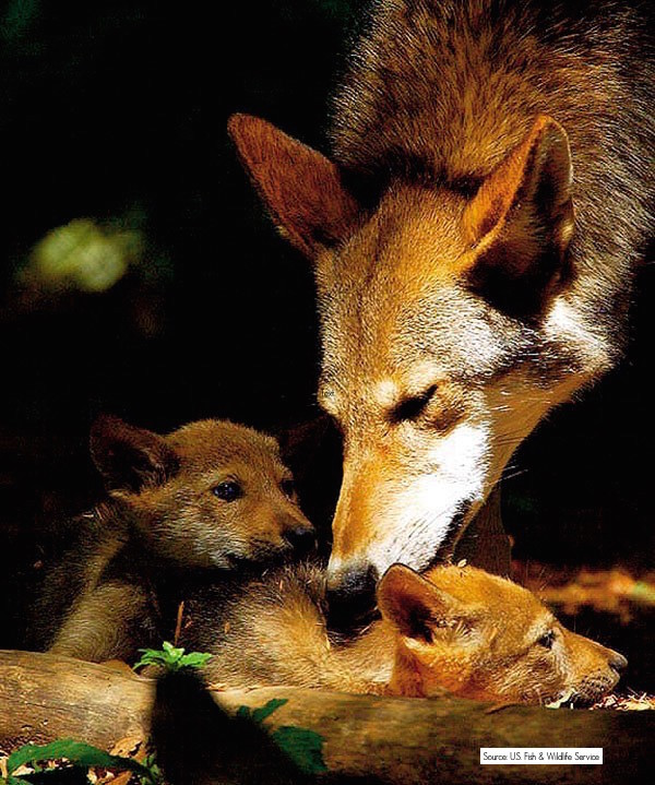 Red Wolf and her pups